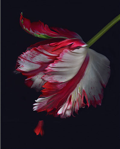 red and white tulip on black background