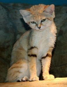 Cat_Sand Cat_felis_margarita_Qatar