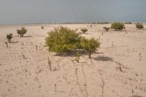 Mangroves with aerial roots (pneumatophores) in salt marsh near Jazirat Umm Tays