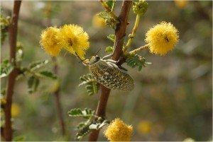 Qatar Wildflowers_Bug on Acacia Flowers_Susan