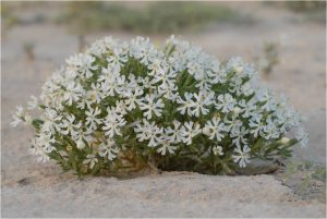 Qatar Wildflowers_Silene Plant_Susan