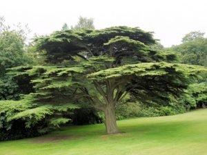 Cedar-tree-728x546
