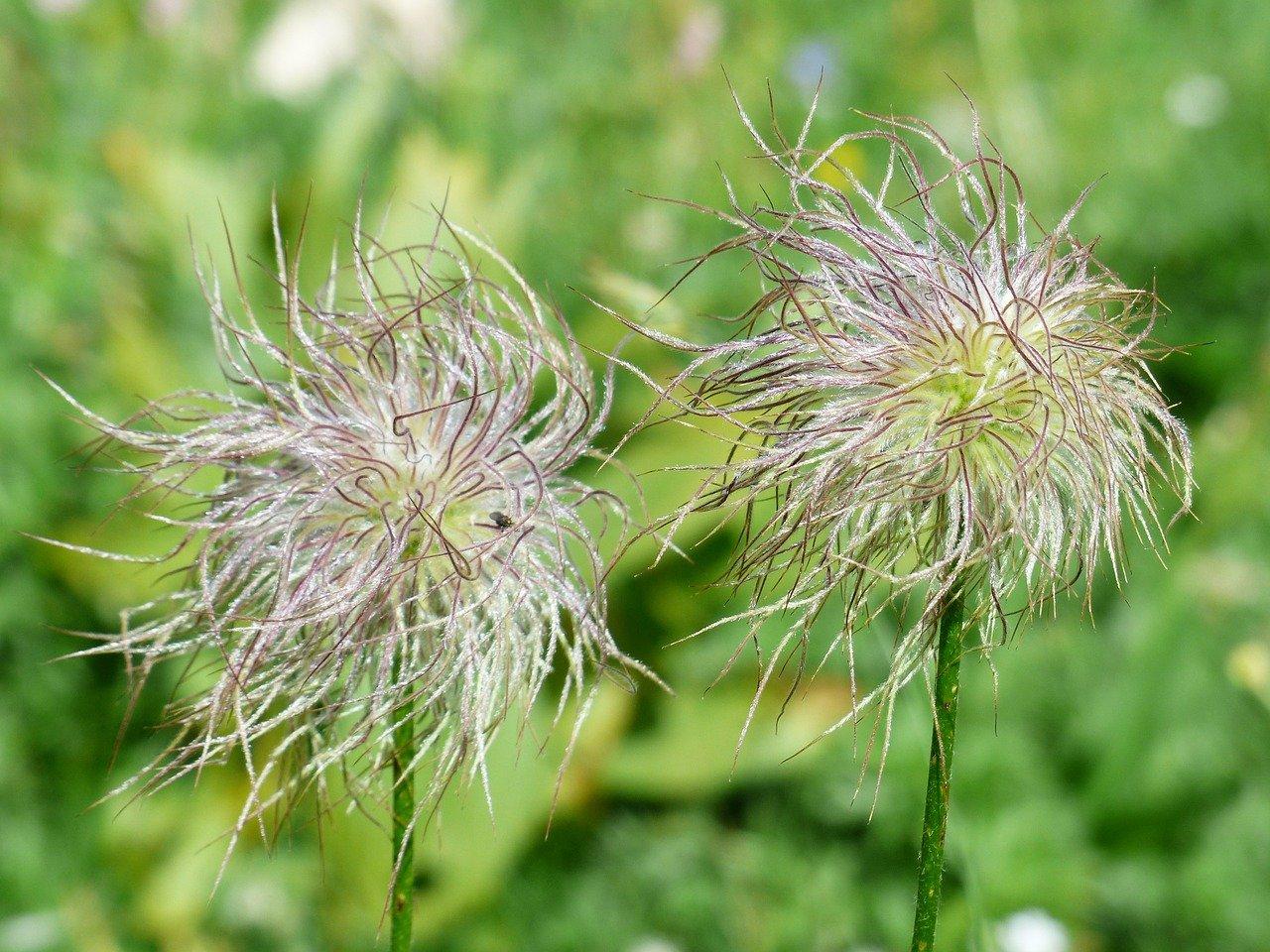 alpine-anemone-181691_1280
