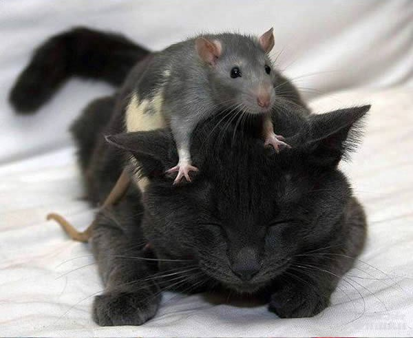cats-being-friends-with-mice-3