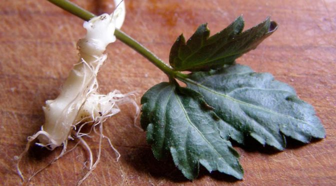 crinkle root leaf and root