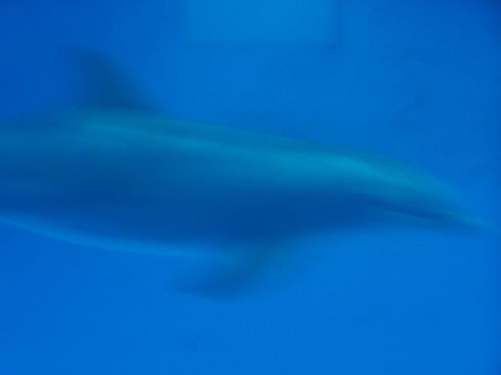 Hazy dolphin in blue aquarium