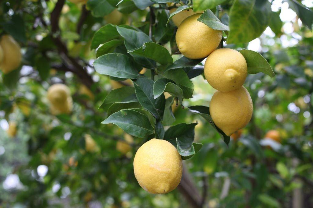 Lemons hanging in tree