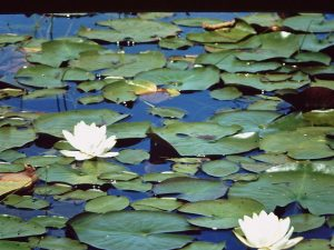 White flowered water lilies