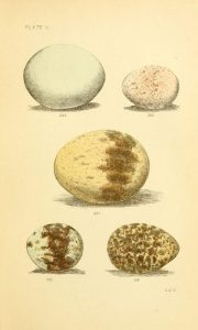 page of illustrated bird eggs