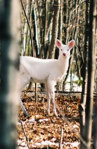 Albino Deer by Rebecca Sayers. CC license.