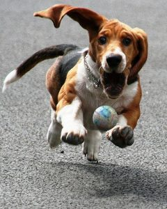 Basset Hound chasing after a ball