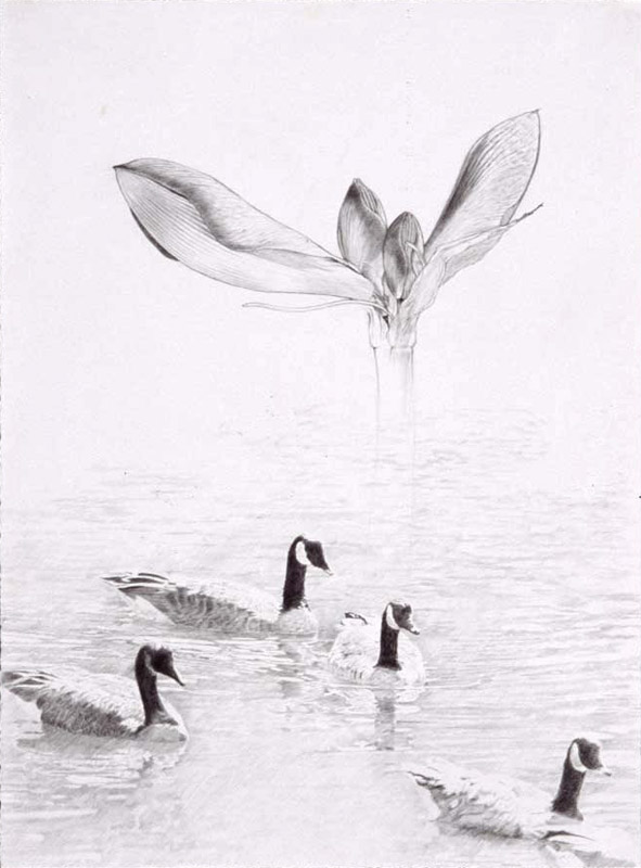 canada geese and amaryllis