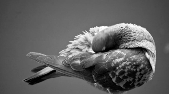 monochromatic image of pigeon preening feathers
