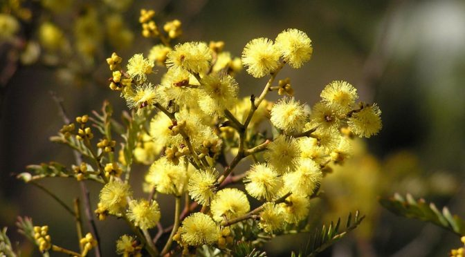 Yellow flowers on wattle bush