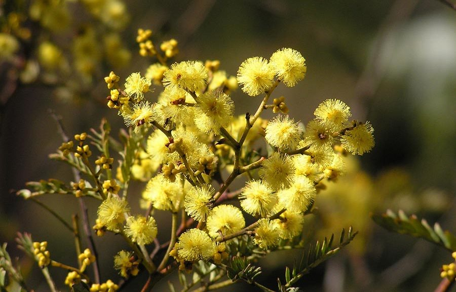 Yellow flowers on wattle bush