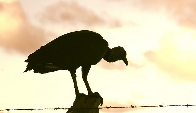 Vulture on post