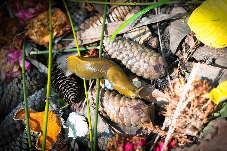 banana slug on pinecones