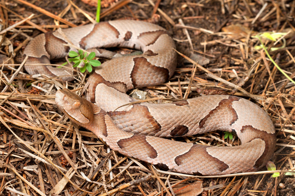 Light brown southern copperhead snake