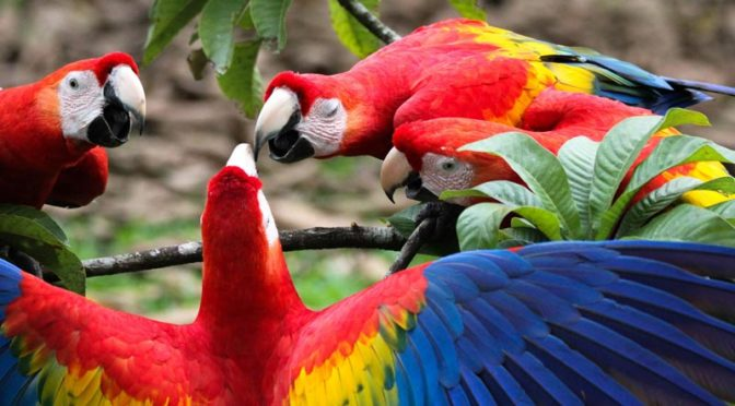 several scarlet macaws squawikng