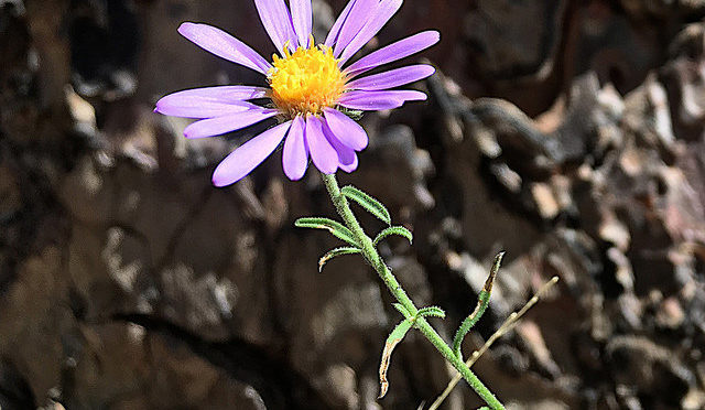 photo of Fleabane flower