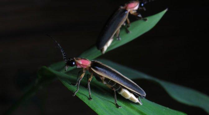 two fireflies
