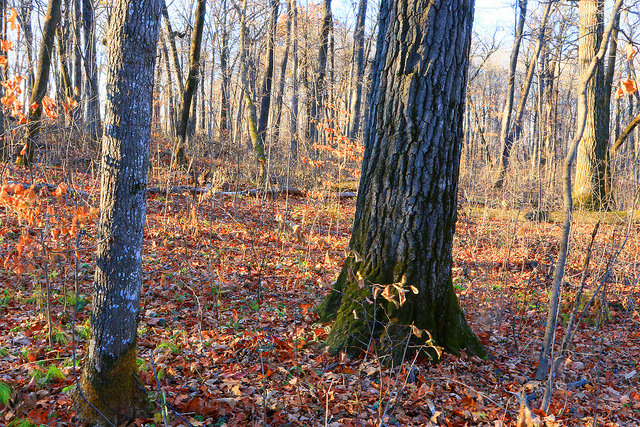 Photo of a red oak tree forest