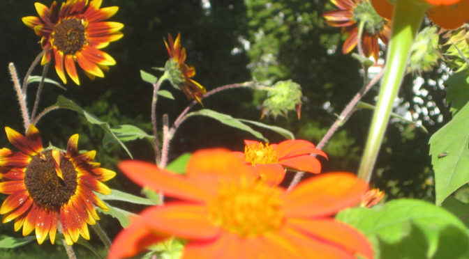 Photo Mexican Sunflowers