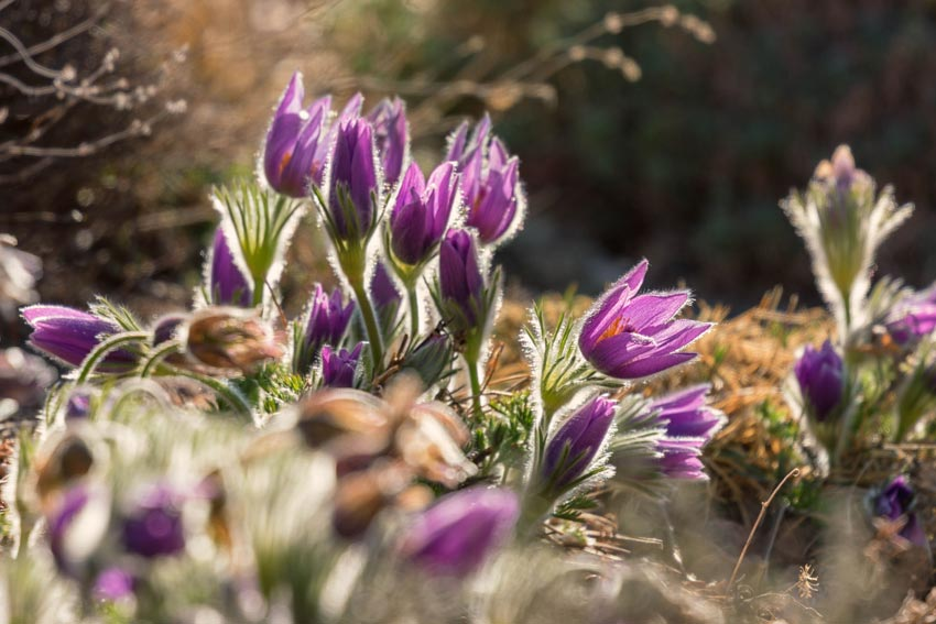 Purple Easter Pasque Flowers