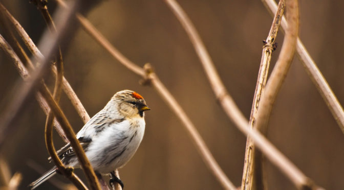 Color photo of Redpoll bird in a bush