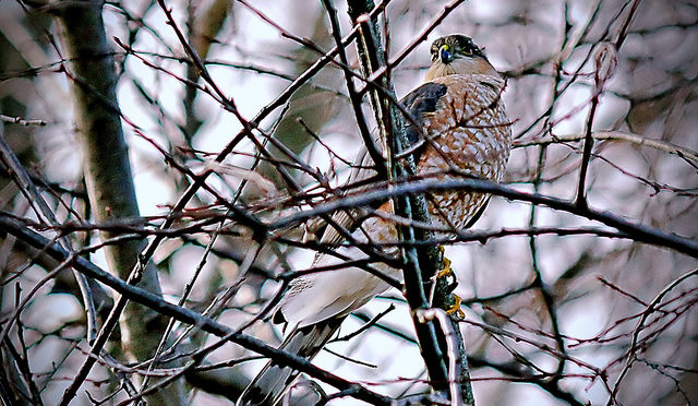 Cooper's Hawk sitting in branches of a tree in winter