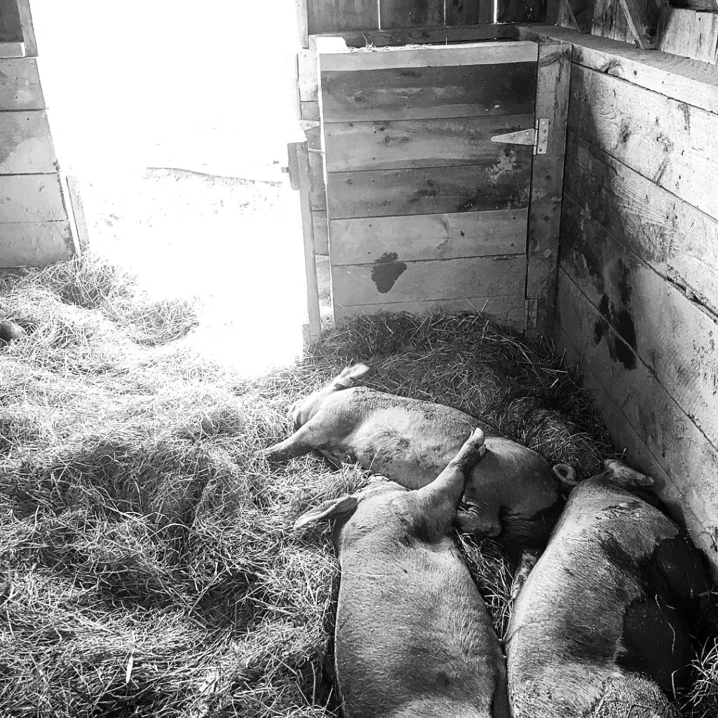 Black and white photo of piglets laying together in a stall