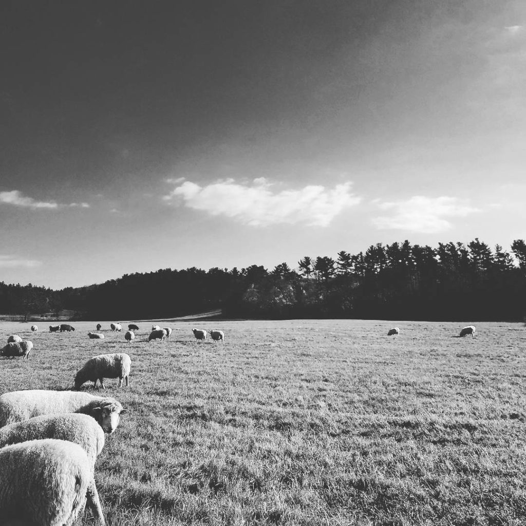 Black and white photo of sheep in a field
