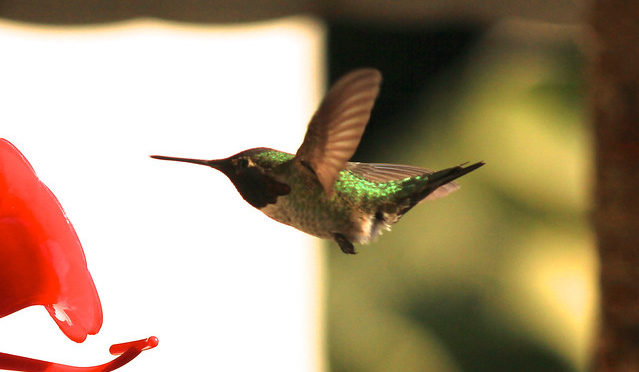 color photo of hummingbird