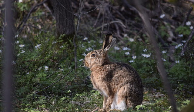 Color photo of a Brown Hare in the woods