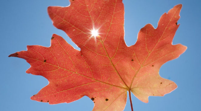 Sun shining though hole in red leaf