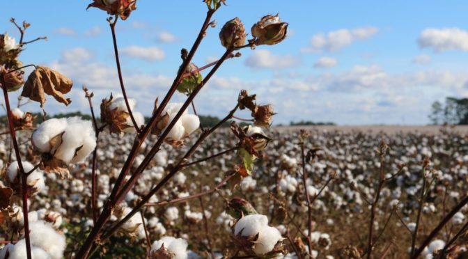 Photo of cotton field