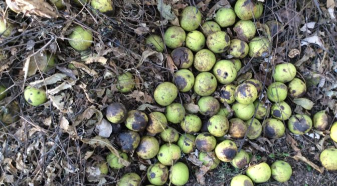 Photo of black walnuts on ground