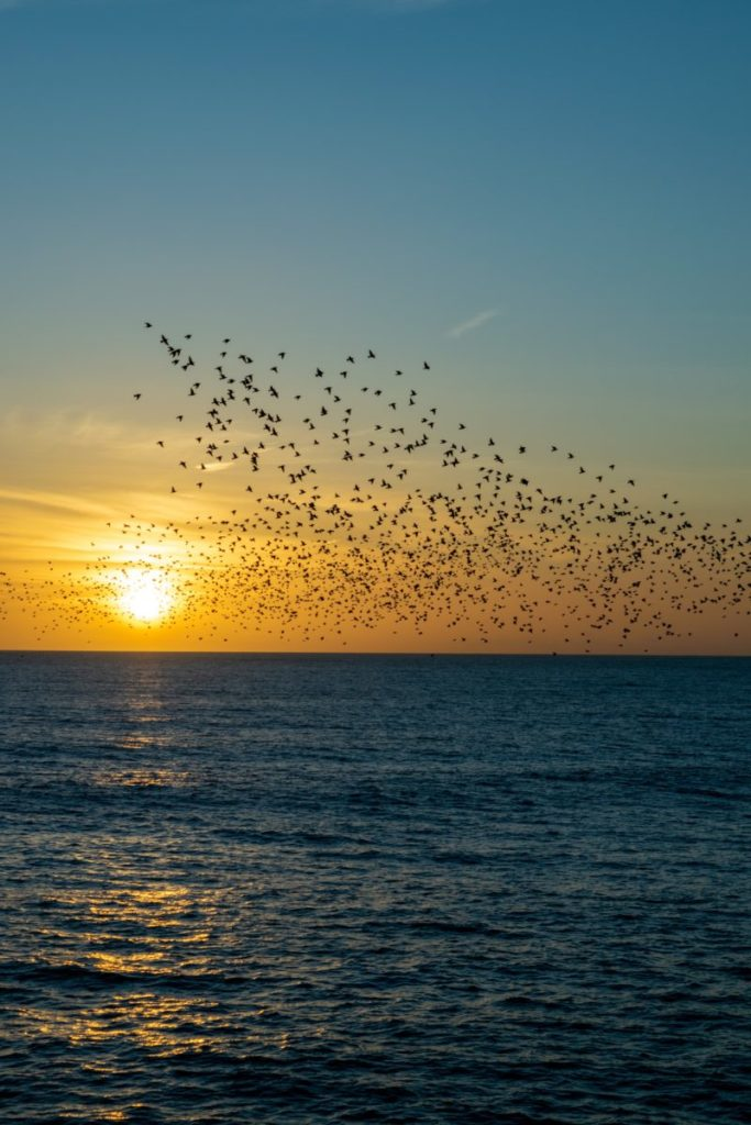 Photo of murmuration against sunset