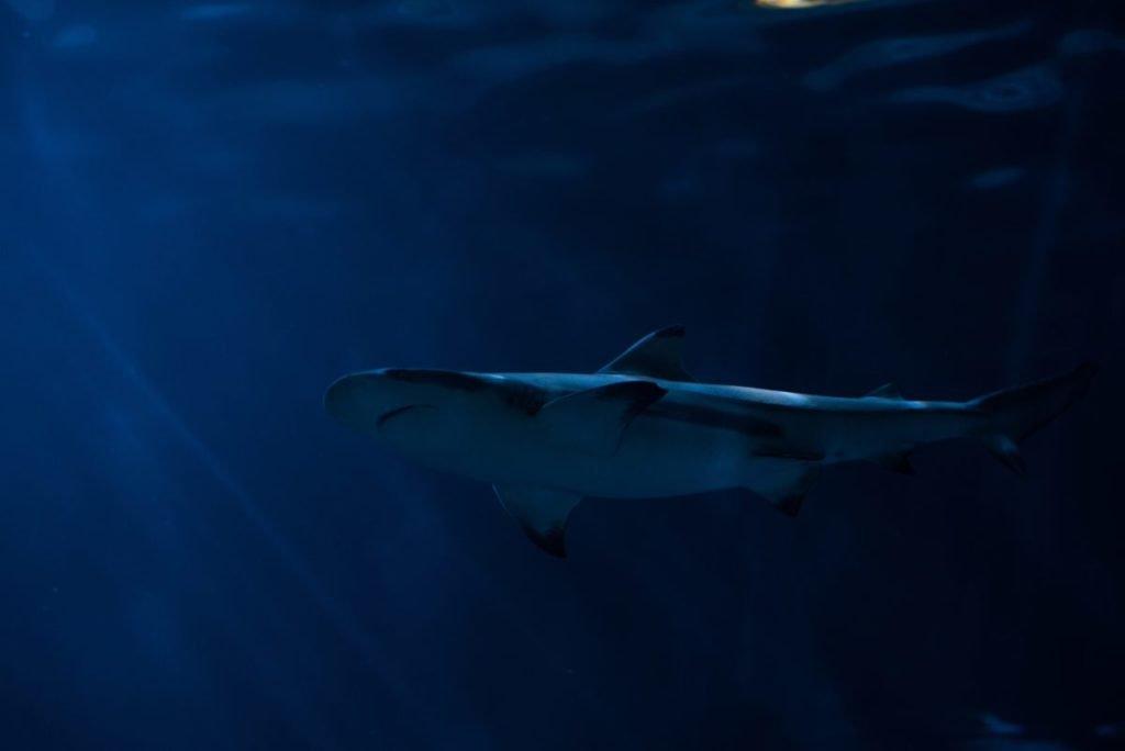 Shark in dark blue waters
