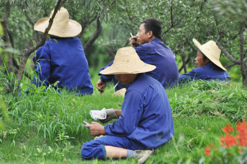 Group of Chinese men in purple clothes and straw hats