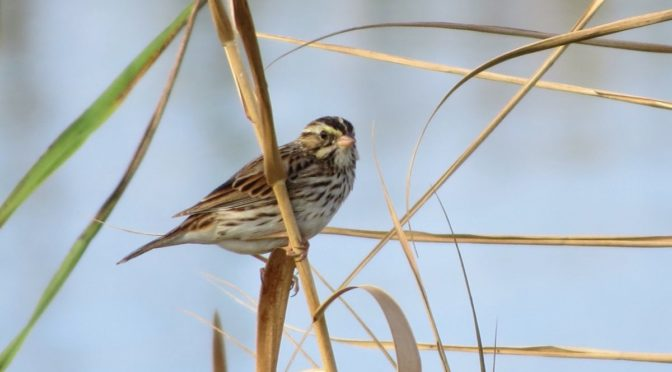 gray and white sparrow perched in reeds