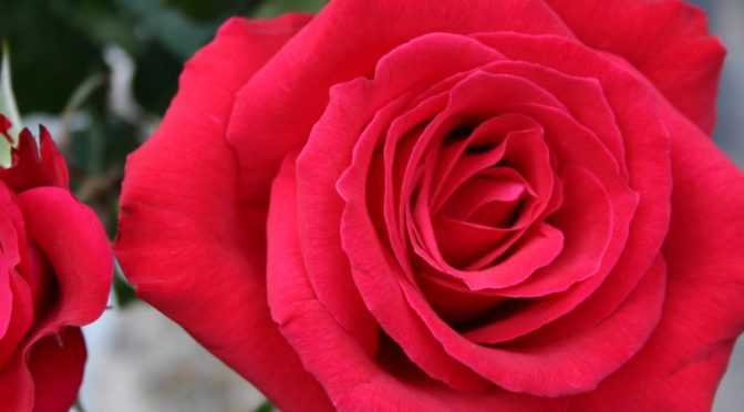 Photo of bright red rose