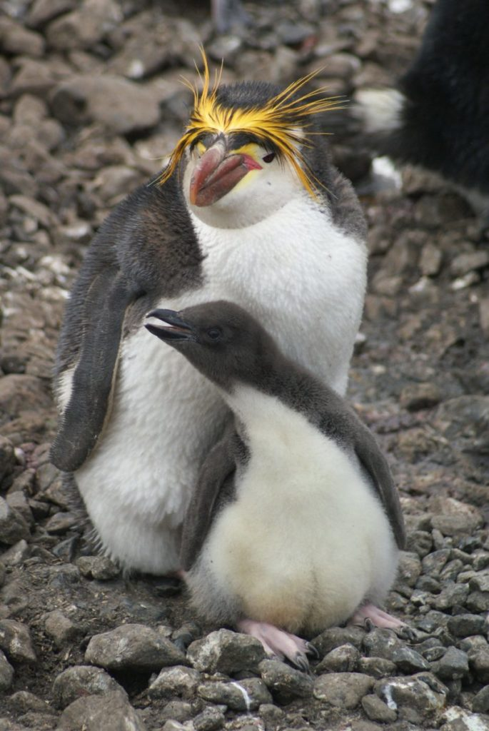 Photo of royal penguin with its chick
