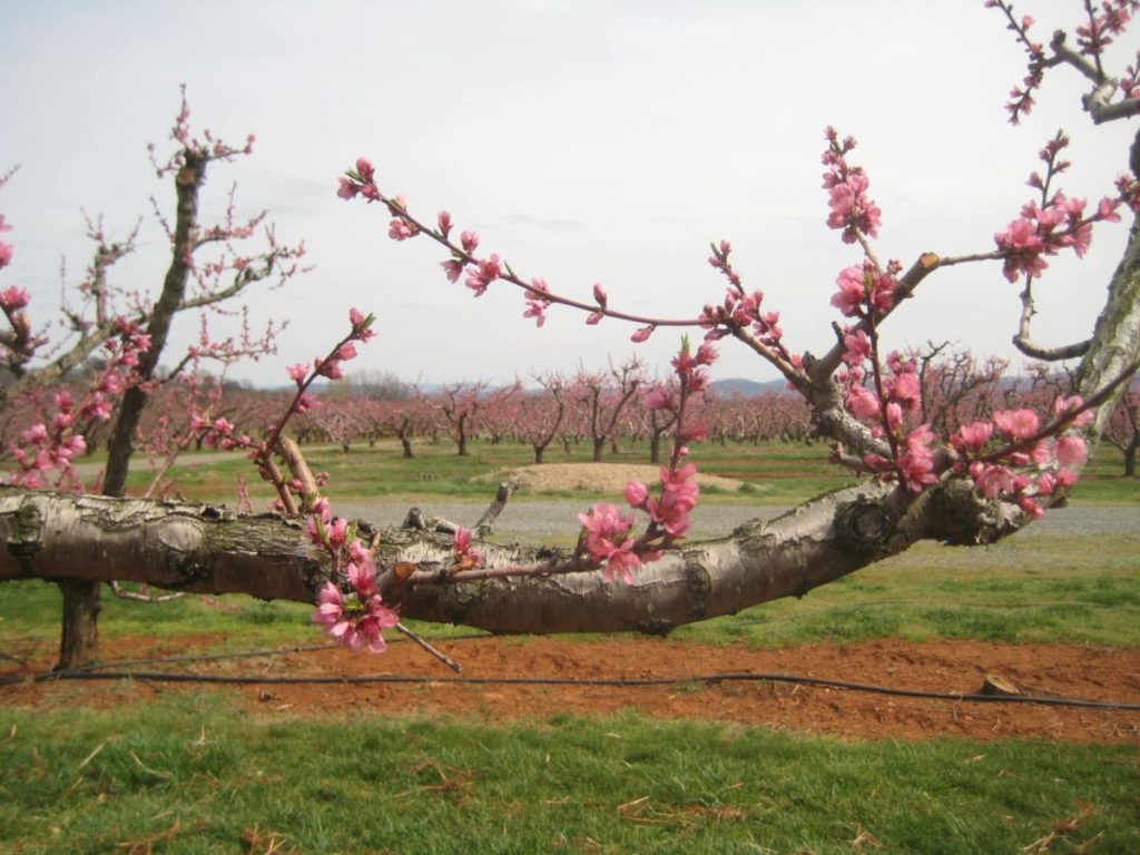 Photo of orchard with pink buds