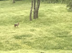 Photo of coyote in field