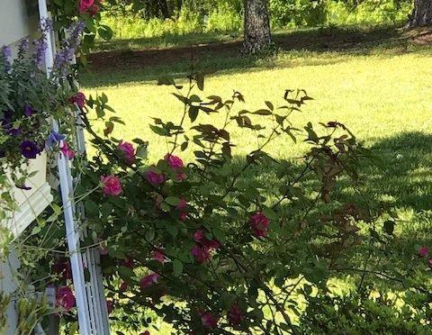 Photo of roses on trellis