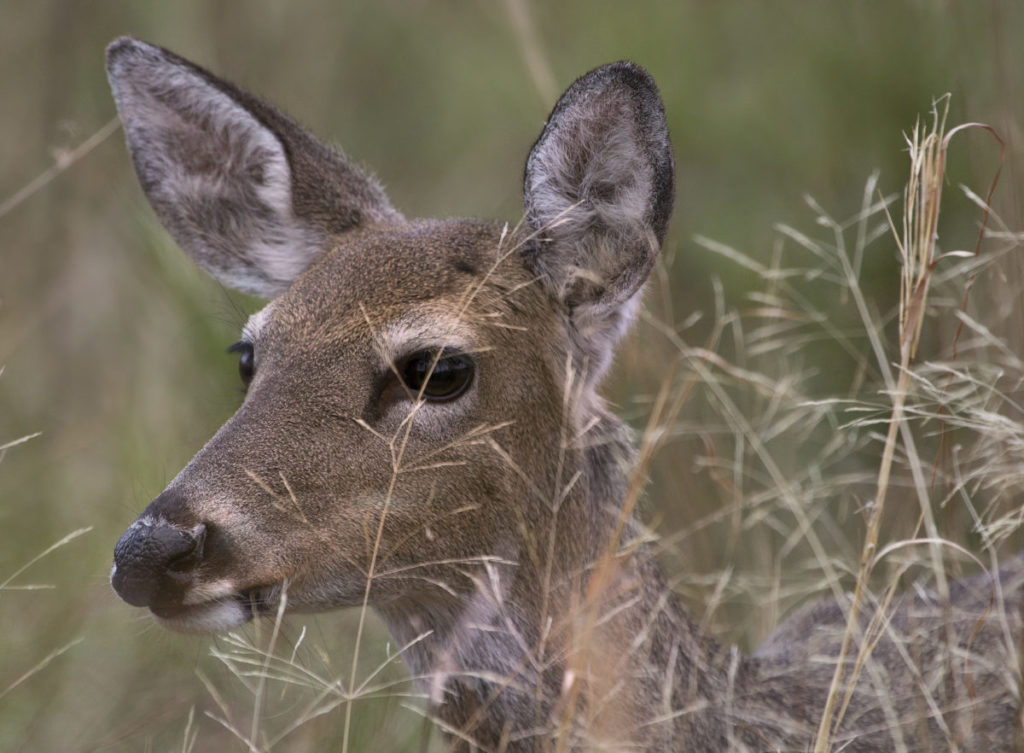 Closeup photo of deer in tall grass