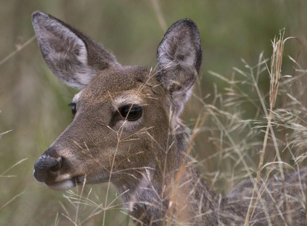 Closeup photo of deer in tall grass