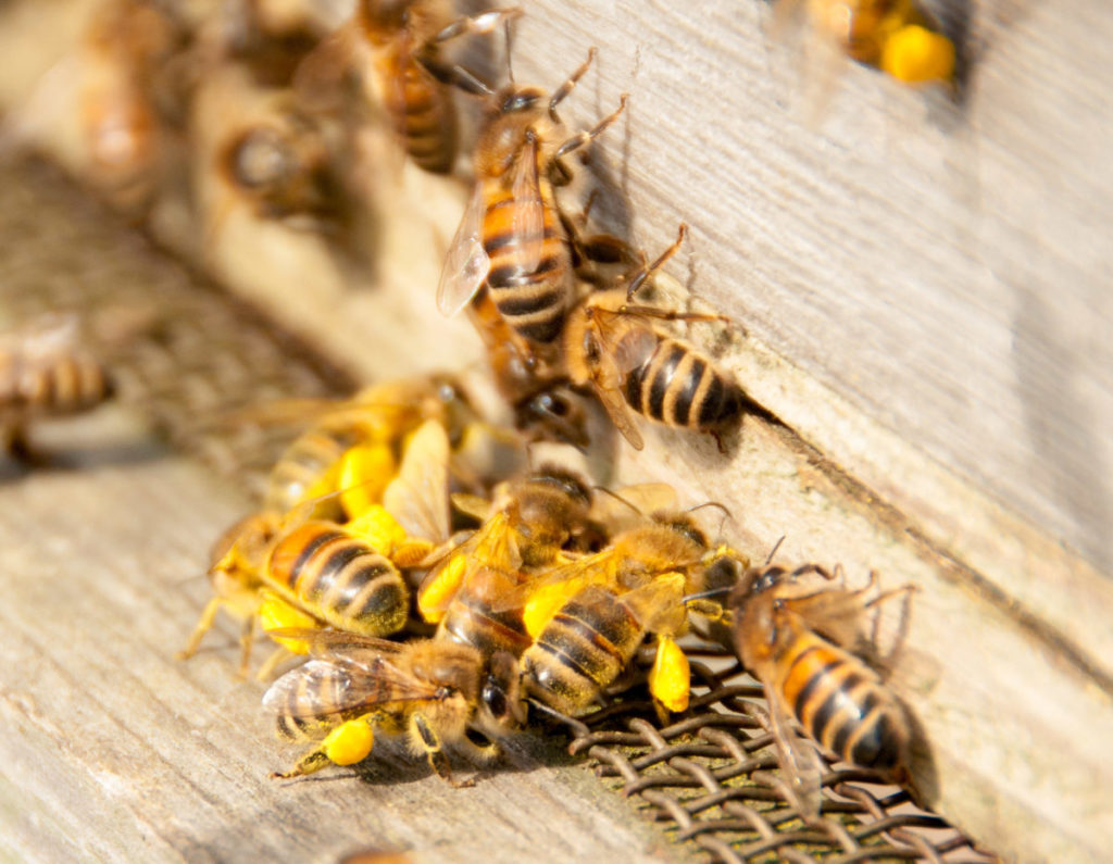 Photo of group of honeybees