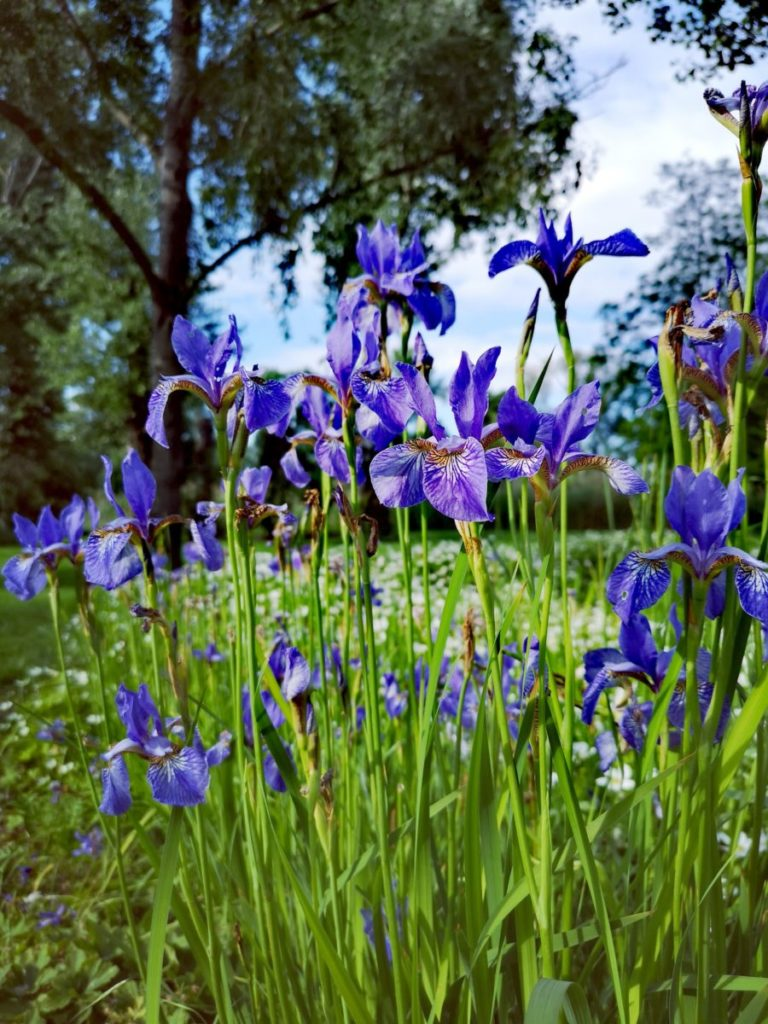 Photo of violet irises